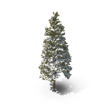 Conifer Covered in Snow