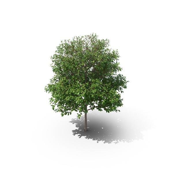 Sauerkirschbaum