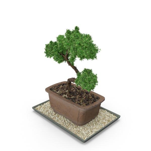 Thumbnail for Bonsai Tree