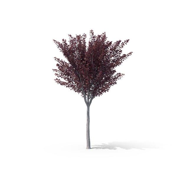 Thumbnail for Сливовое дерево