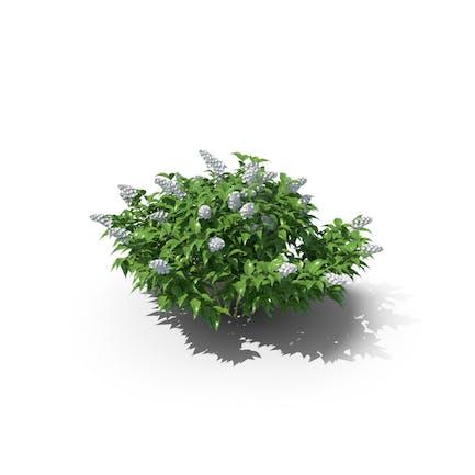 Deutzia Plant