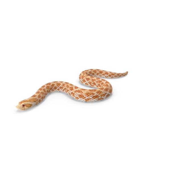 Hognose Snake Crawling
