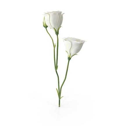 Eustoma Blanco