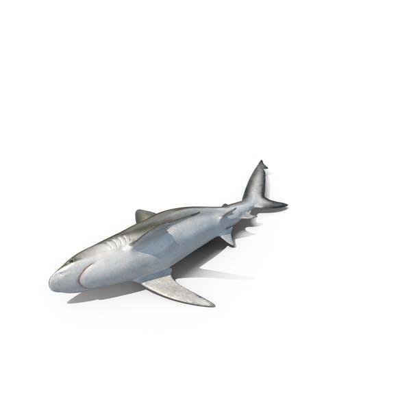 Beached Bignose Shark