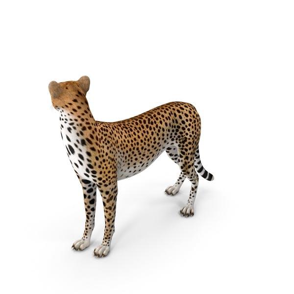 Гепард смотрит вокруг