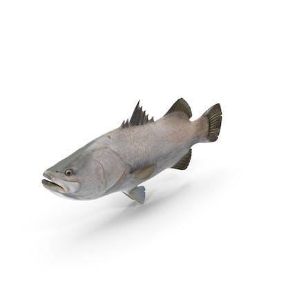 Barramundi oder Lites Calcarifer Fisch