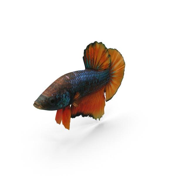 Thumbnail for Female Betta Fish