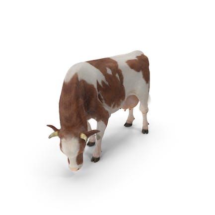 Holstein-Kuh-Essende Pose mit