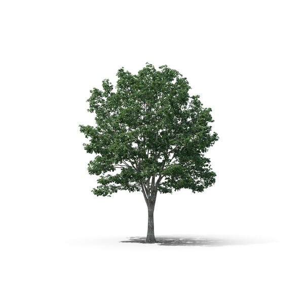 Cover Image for Basswood Tree
