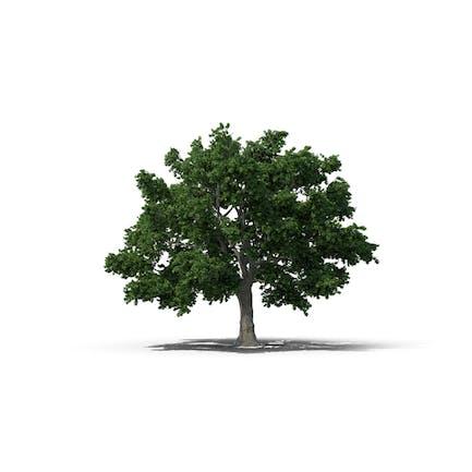 Zucker-Ahornbaum