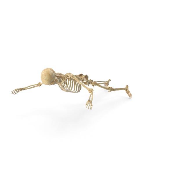 Real Human Female Skeleton Falling