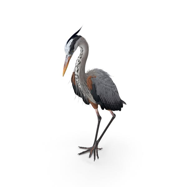 Grey Heron Standing on One Leg