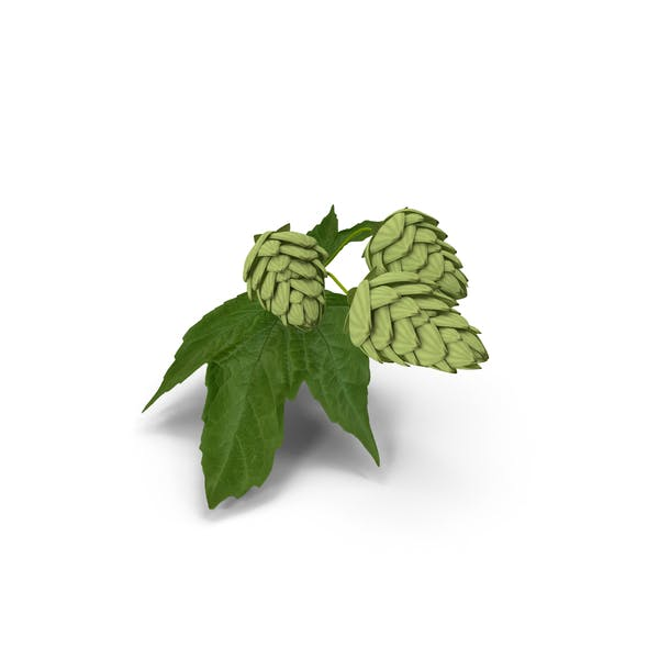 Fresh Branch of Hops