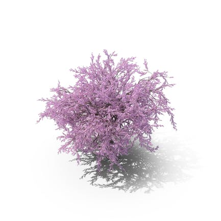 Sakura Flieder