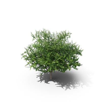 Ulme Kniebeuge Baum