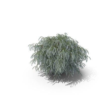 Spiraea Busch