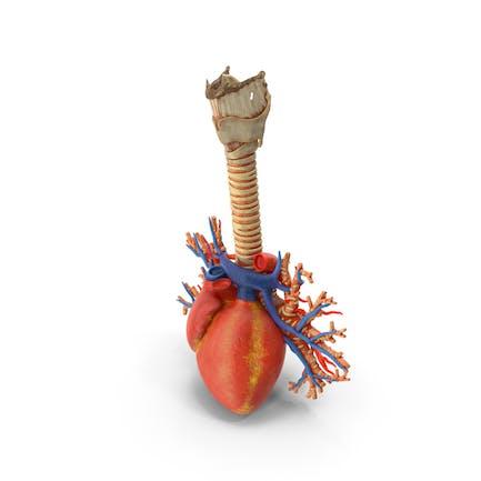 Luftröhre und Herz