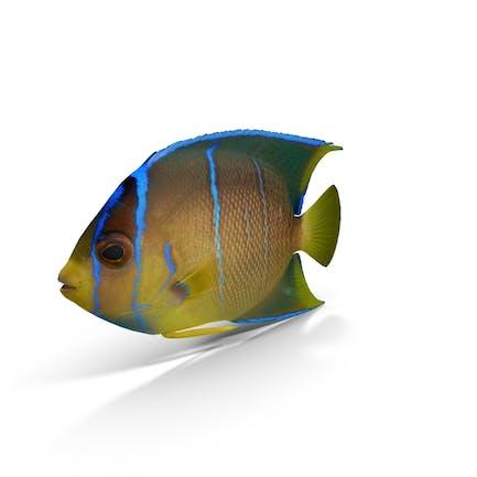 Pomacanthus Pez Ángel Azul