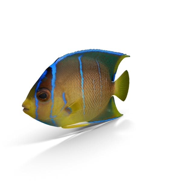 Thumbnail for Pomacanthus Blue Angelfish