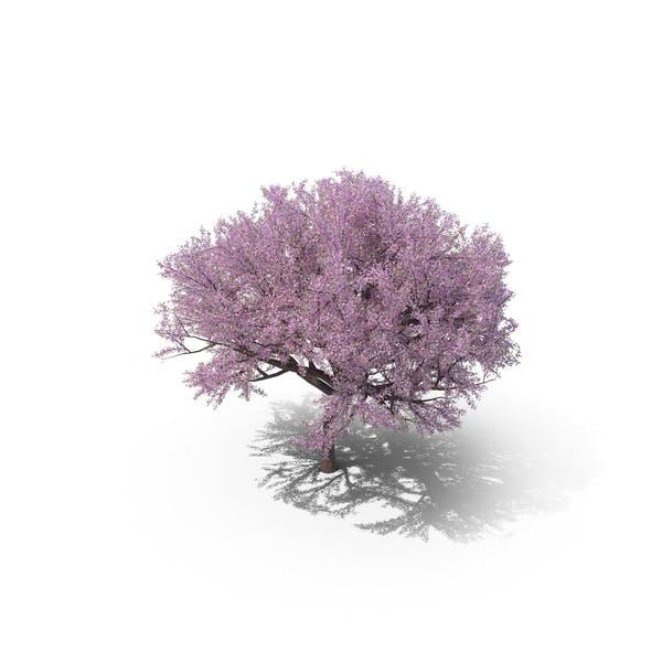 Thumbnail for Sakura Lilac
