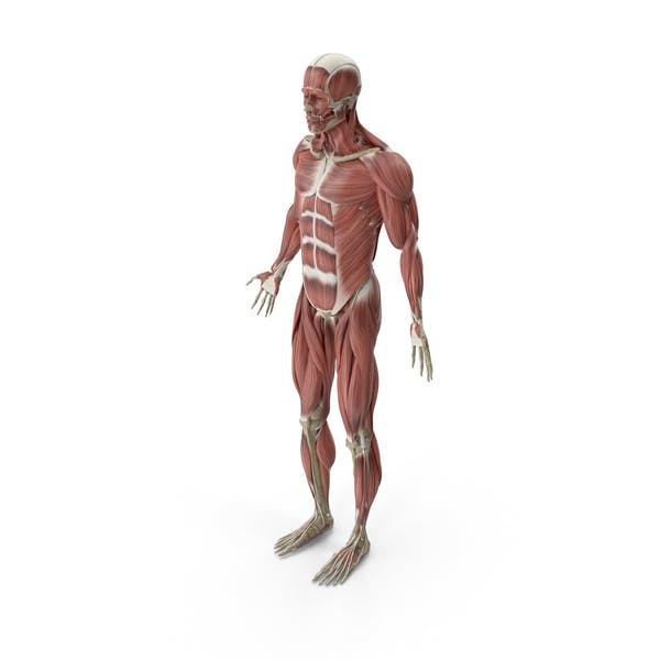 Thumbnail for Male Muscular System