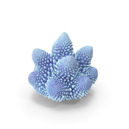 Coral Weiß