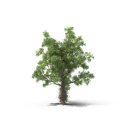 Kanonenkugel Baum