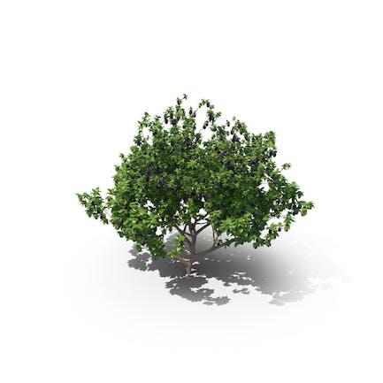 European Plum Tree