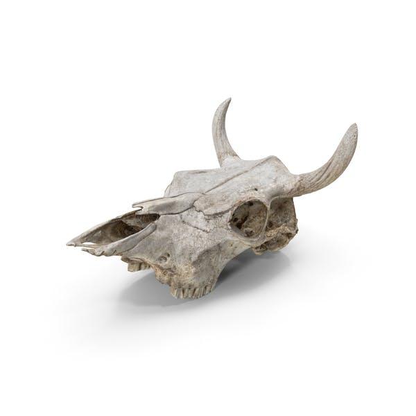 Thumbnail for Cow Skull