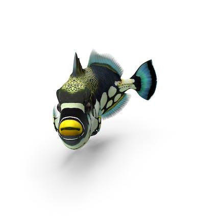 Clown Trigger Fisch