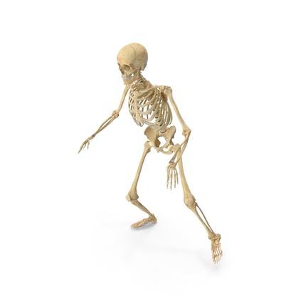 Echte menschliche weibliche Skelett