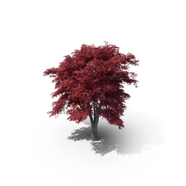 Японское кленовое дерево