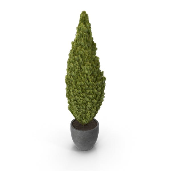 Thumbnail for Cupressus in Pot