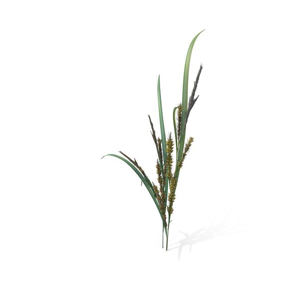 Thumbnail for Wild Grass (Echinochloa Crus-Galli)