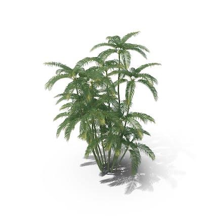 Areca Palm Medium