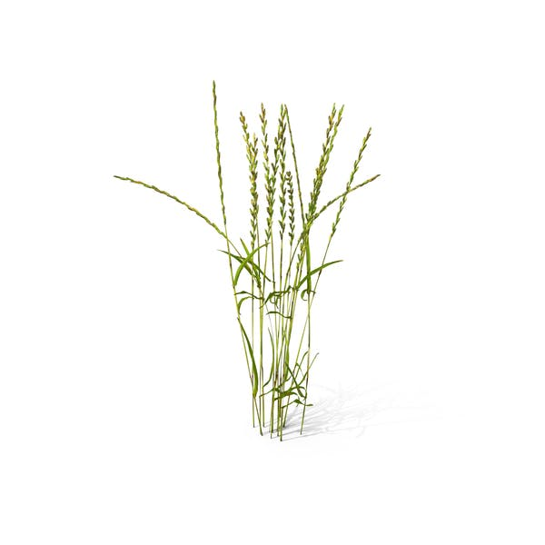 Cover Image for Perennial Rye-grass (Lolium Perenne)