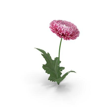 Chrysantheme Blume