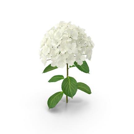 Weißer Hortensien-Blumen-Zweig