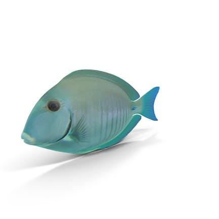 Doctorfish