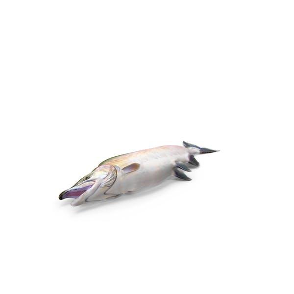 Thumbnail for Pink Salmon