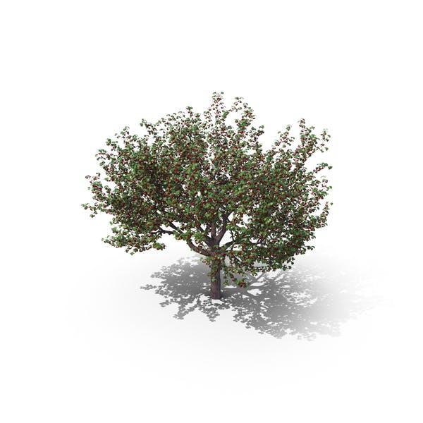 Thumbnail for Sweet Cherry Tree