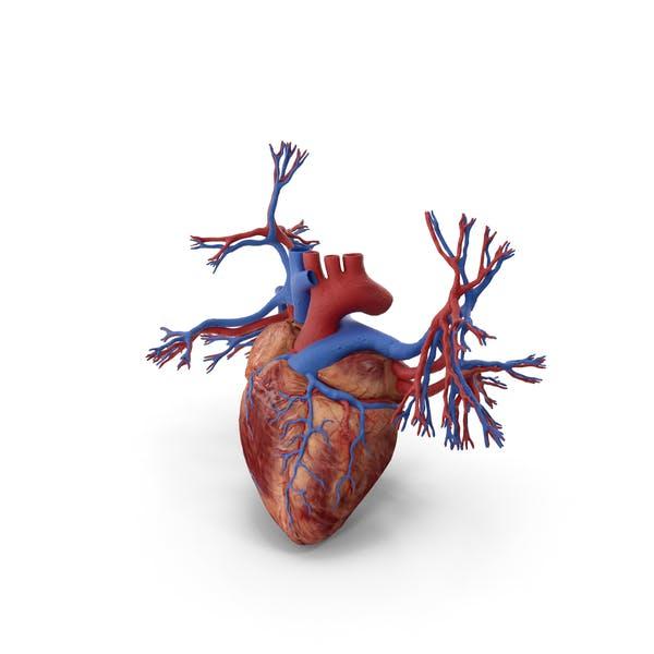 Menschliches Herz und Bronchien