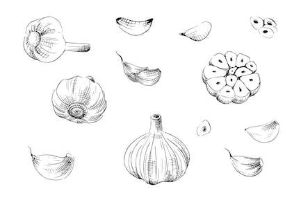 Garlic - freehand illustration