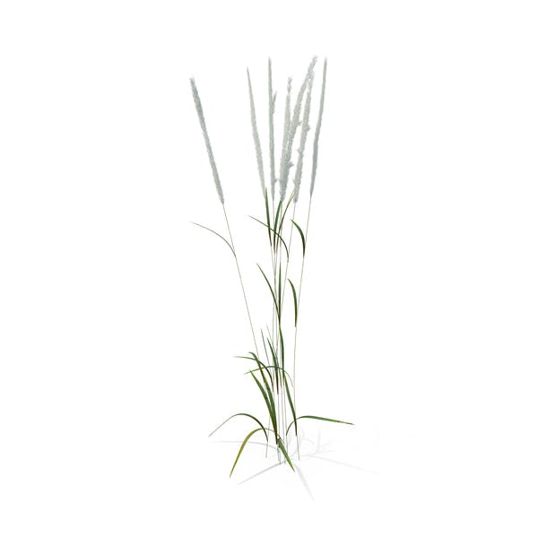 Thumbnail for Feather Reed Grass