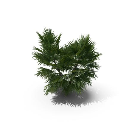 Palm Tree Chuniophoenix Hainanensis