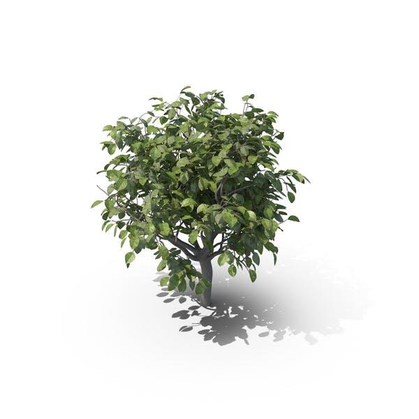 Thumbnail for Lemon Tree without Lemons