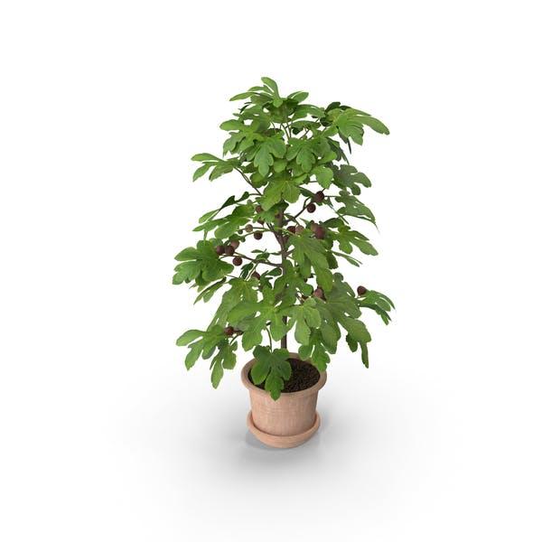 Eingetopfte kleine Feigenbaum mit Früchten