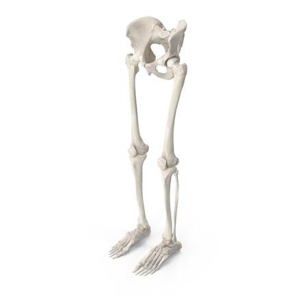 Piernas humanas y huesos de la pelvis