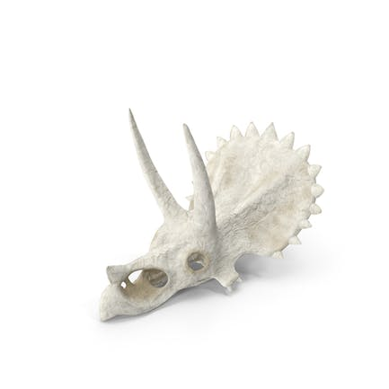 Triceratops Skull Part
