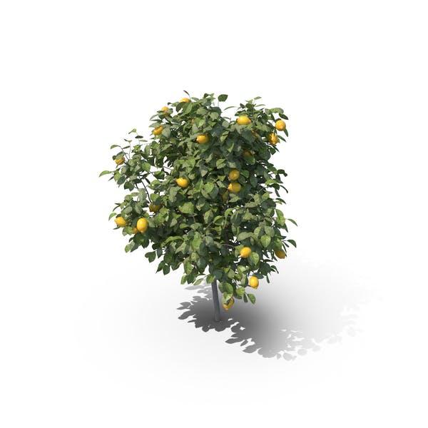 Thumbnail for Lemon Tree